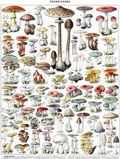 Adolphe Millot - Champignons B - French vintage poster Mini Art Print by dejavustudio Retro Poster, Poster Vintage, Vintage Prints, Poster Poster, Illustration Botanique Vintage, Botanical Illustration, Biennial Plants, Mushroom Art, Botanical Prints