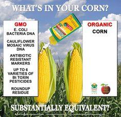 GMO Corn VS Non GMO Corn