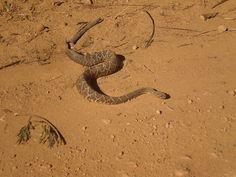 Selva brasileira vida selvagem  : Cobra cascavelFoto:Evandro Carlos Ferreira dos San...