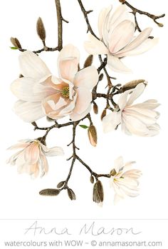 "Magnolia x Loebneri 'Merrill' © 2009 ~ annamasonart.com ~ 36 x 48 cm (19"" x 14"")"