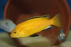 Stunning Electric Yellow Male - Lake Malawi - African Cichlid