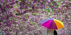 A woman walks in the rain under blooming cherry trees in Frankfurt Oder, Germany.