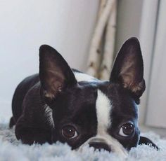 More About Friendly Boston Terrier Puppy #bostonterrierofig #bostonterrieroninstagram #bostonterrierobsessed #bostonterrierlove