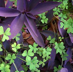 Purple 'n Green