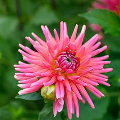 'Tutti Frutti' - 50 Gorgeous Dahlias  - Sunset ...  Coral pink blooms are 5 inches wide and great as cut flowers.