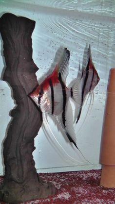 Pt. scalar Rio Manacapuru Angel Fish