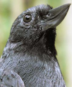 Recurve-billed Bushbird (Clytoctantes alixii)  male