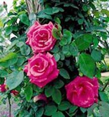 MY FAVORITE ROSE: Zephirine Drouhin, old bourbon rose dating to1868.,,Beautiful, high-centered, cerise-pink flowers with an overwhelming Bourbon fragrance make this climbing rose a knockout in spring and fall. The canes are thornless and the dark green foliage is thick and very healthy, displaying coppery purple new growth making a vivid contrast with the pink blossoms. A perfect rose to train up a porch column where you will pass it often. My favorite rose, thornless and ever so fragrant!