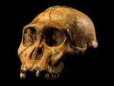 Australopithecus sediba es una especie extinta de homínido australopitecino, cuyos únicos restos descubiertos tienen una datación de entre 1,78 a 1,95 millones de años, viviendo en el Calabriense