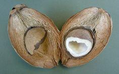 Sie wird in tropischen Ländern »Königin der Nahrungsmittel« genannt. Sicher auch, weil es wohl keine Krankheit, kein Gesundheitsproblem gibt, das die Kokosnuss nicht zu lindern, zu heilen und zu ve…