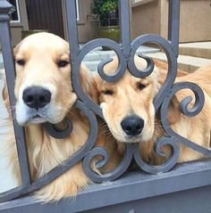 Golden Retrievers -Noble And Loyal