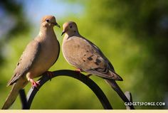 One of my most favorite sounds on earth is the coo of the Mourning Dove.