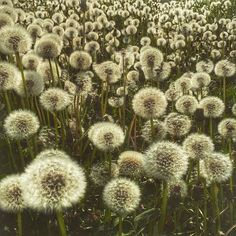 Dandelions are an important food source for bees. Taken by Alison Pentland. From Off the Porch Blog at offtheporch.ca The Doobie Brothers, One Summer, Photo Series, Dandelions, Get Outside, Nature Photos, Bees, Porch, Sunrise