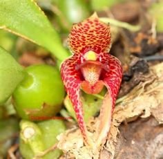 orchids native to... - Search
