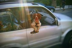 Brittany Spaniel On the road