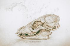 Fine art print of a bat-eared fox skull