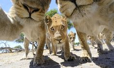 Curiosity and the cats: A pride of lions stare into camera attached to a remote control buggy in Khwai, Botswana.