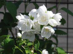 6月9日【バイカウツギ(梅花空木)】学名:Philadelphussatsumi別名:サツマウツギ、フスマウツギ形態:落葉樹 樹高:低木分類:アジサイ科花色:白色。使われ方:庭木、公園樹などとして使われています。