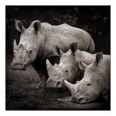 Three Rhinos, Nakuru 2007