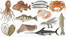 Some of Katie Scott's illustrations for Fish: Recipes from the sea