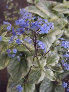 Brunnera macrophylla 'King's Ransom'