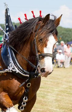 galloping-clydesdale-horse-portrait-33101652.jpg (580×900)