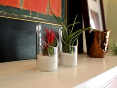 Ionantha and Caput Medusae air plants (tillandsias) on a mantle.