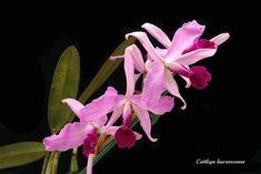 Cattleya lawrenceana #4 | emmily1955 | Flickr