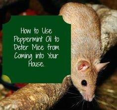 Peppermint oil for getting rid of mice. Now that cold weather is coming, rodents are looking for a nice warm home. Here's how to keep them from invading yours, with natural essential oils. Mice and other pests absolutely hate the smell of peppermint. Peppermint Oil For Mice, Peppermint Spray, Pepermint Oil, How To Deter Mice, Mice Repellent, Insect Repellent, Getting Rid Of Mice, Diy Pest Control, Garden Guide