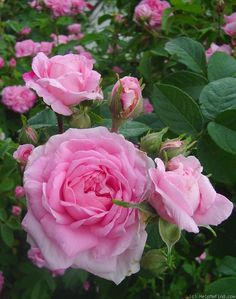 Rose Ispahan. also known as'Pompon des Princes' A clear half open Damask rose from 13th century Iran. Has a strong damask fragrance.