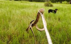New photos from the Health Ranger ranch: Snake capture, roosters, goats, donkeys, wildflowers and more