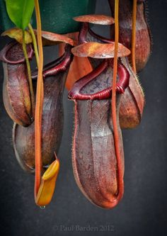Nepenthes singalana x ventricosa. Nepenthes (/nɨˈpɛnθiːz/), popularly known as tropical pitcher plants or monkey cups, is a genus of carnivorous plants in the monotypic family Nepenthaceae Strange Flowers, Unusual Flowers, Unusual Plants, Rare Plants, Rare Flowers, Exotic Plants, Cool Plants, Tropical Plants, Amazing Flowers