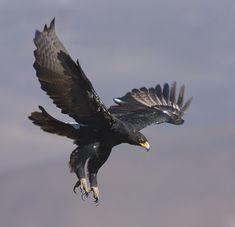 Black Eagle | Black eagle in flight: Photo by Photographer Mark Warrillow-Thomson ...
