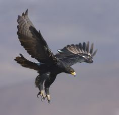 Black Eagle | Black eagle in flight: Photo by Photographer Mark Warrillow-Thomson ...