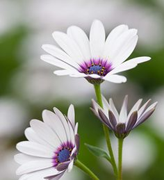 Pure white, large daisy flowers with a lovely blue and purple eye.