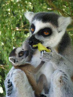 Ring Tailed Lemur #lemur #africanlionsafari