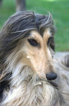 Afghan Hound. I love the thin muzzle and beautiful kohl eyes.