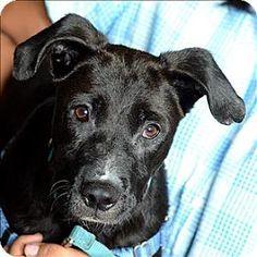 Santa Rosa, CA - Great Dane/Labrador Retriever Mix. Meet Griffey, a dog for adoption. http://www.adoptapet.com/pet/13598734-santa-rosa-california-great-dane-mix