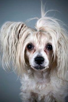 Chinese Crested Dog Eetu - www.mikaelaantin.net