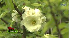 Ogród bez tajemnic ,, Krzewy kwitnące wczesna wiosną''