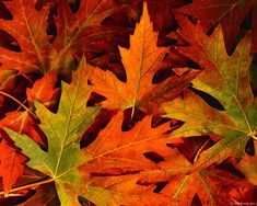 Image detail for -fall leaves - Autumn Photography Desktop Wallpapers ( 26151 Views )
