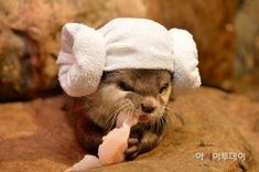 """It's Otter Princess Leia! Otters Cute, Baby Otters, Baby Sloth, Cute Baby Animals, Animals And Pets, Funny Animals, Wild Animals, Otter Love, My Spirit Animal"