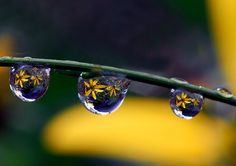 Drops of Yellow Petals by Steve took it, via Flickr #Water_Drops #Steve_took_it