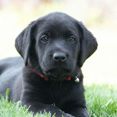 Black Lab Puppies, Labrador Retriever, Dogs, Animals, Labrador Retrievers, Black Labrador Puppies, Animales, Animaux, Pet Dogs