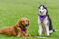 Bella Rose and Zoey participating in Bark For Life #Husky #goldenretriever