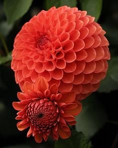 Dahlia 'Lismore Robin' ~Beauty of Flowers Gardens Feed your plants with GrowBest… Exotic Flowers, Orange Flowers, Amazing Flowers, My Flower, Beautiful Flowers, Dahlia Flowers, Zinnias, Trees To Plant, Planting Flowers