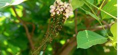 करंज (Millettia Pinnata) परिचय गुण तथा आयुर्वेदिक उपयोग - Key To Health Plant Leaves, Key, Health, Plants, Unique Key, Health Care, Plant, Planets, Salud