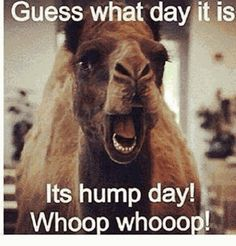 Hahaha i love hump day only 2 more days to go then we are free :):):) Funny Hump Day Memes, Hump Day Quotes Funny, Funny Wednesday Memes, Wednesday Hump Day, Hump Day Humor, Friday Humor, Humor Quotes, Funny Sayings, Quotes Friday