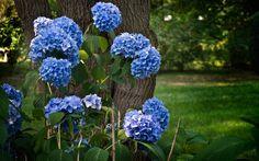 hydrangea_flowering_shrubs_herbs_park_hd-wallpaper-33054.jpg (1920×1200)