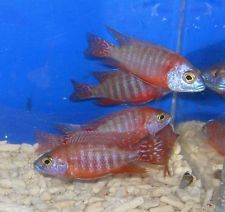 Red Peacock African Cichlid Live Freshwater Aquarium Fish